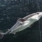 The Spiny Dogfish or Mud Shark common in Europe.