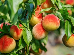 Peaches on the tree.